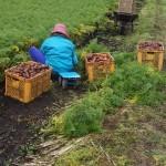 菊陽ニンジンの収穫